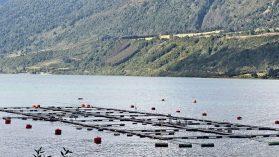 Nuevo escape de salmones en Los Lagos: un problema político