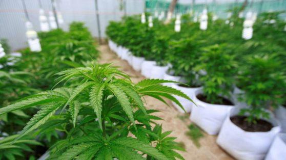 """Negocios millonarios y conflictos de interés en la industria de """"cannabis medicinal"""""""