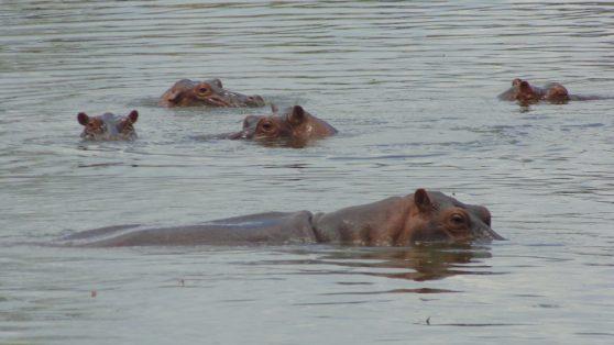 Colombia: los hipopótamos de Pablo Escobar amenazan la biodiversidad