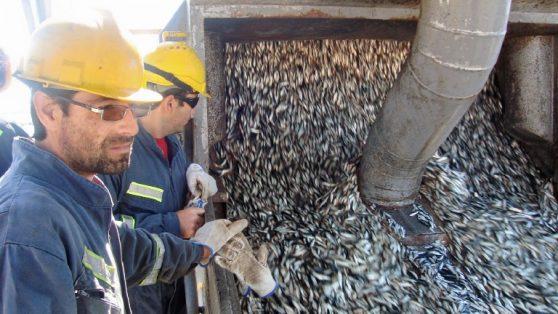 La pesca ilegal que amparó el Estado y devastó a la sardina austral